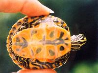 Turtle%20Mary_Hollinger_NOAA%20(2).jpg