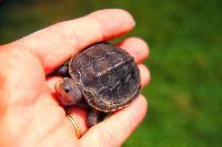 Turtle%20Mary_Hollinger_NOAA%20(3).jpg