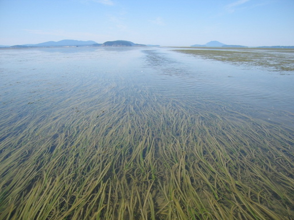 Eelgrass flowing underwater with islands in the background on the Pacific Coast.
