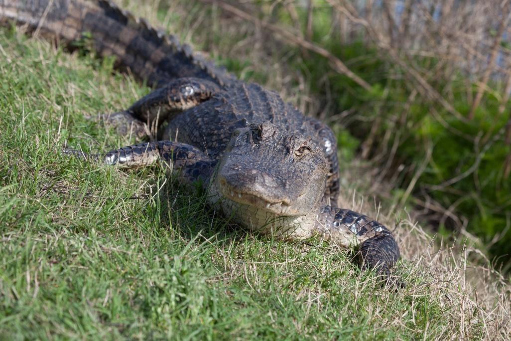 Alligator in grass.