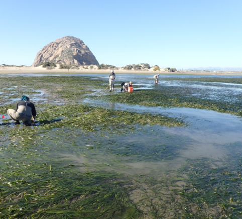 People collecting eelgrass in shallow water with large rocks in background