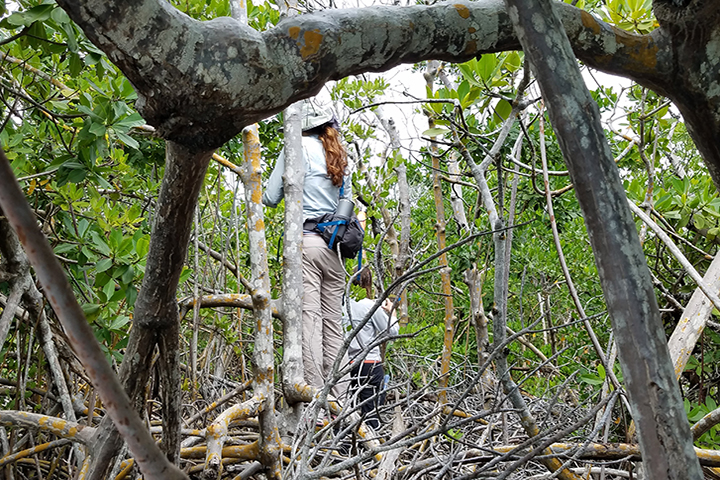 Two people with scientific equipment standing in a mangrove forest.