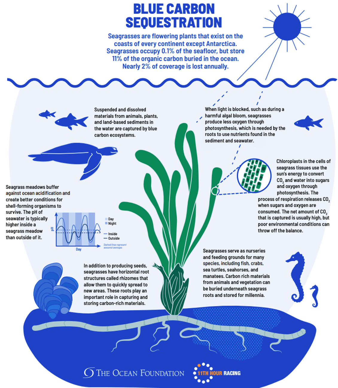 Illustrated diagram of the blue carbon sequestration process. Please see link in caption for detailed description.
