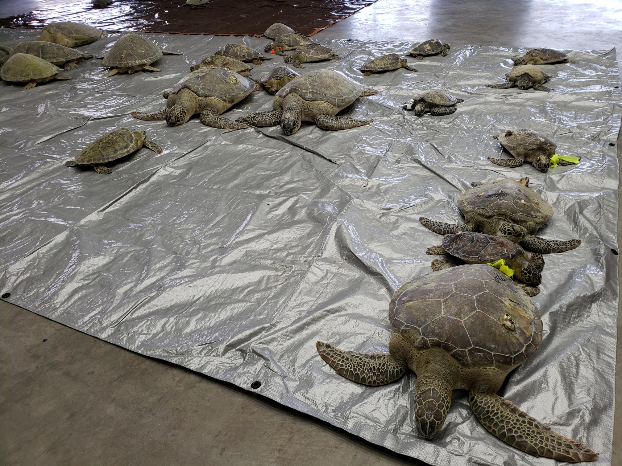Over twenty recently rescued sea turtles of various sizes resting in a facility in Texas.